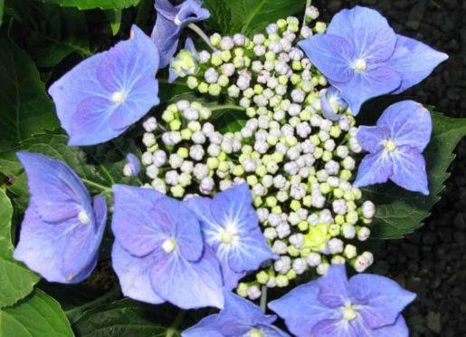 Hydrangea macrophylla Blaumeise P