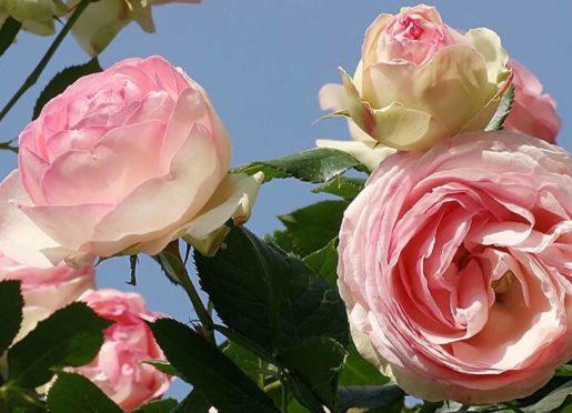 Rose pierre-de-ronsard-P